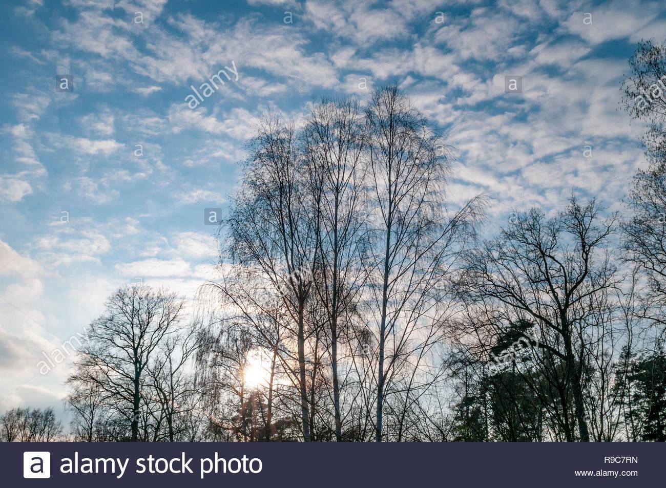 Streifen aus Mischwald unter blauem Himmel im Gegenlicht am Rande eines Feldes. - Stock Image