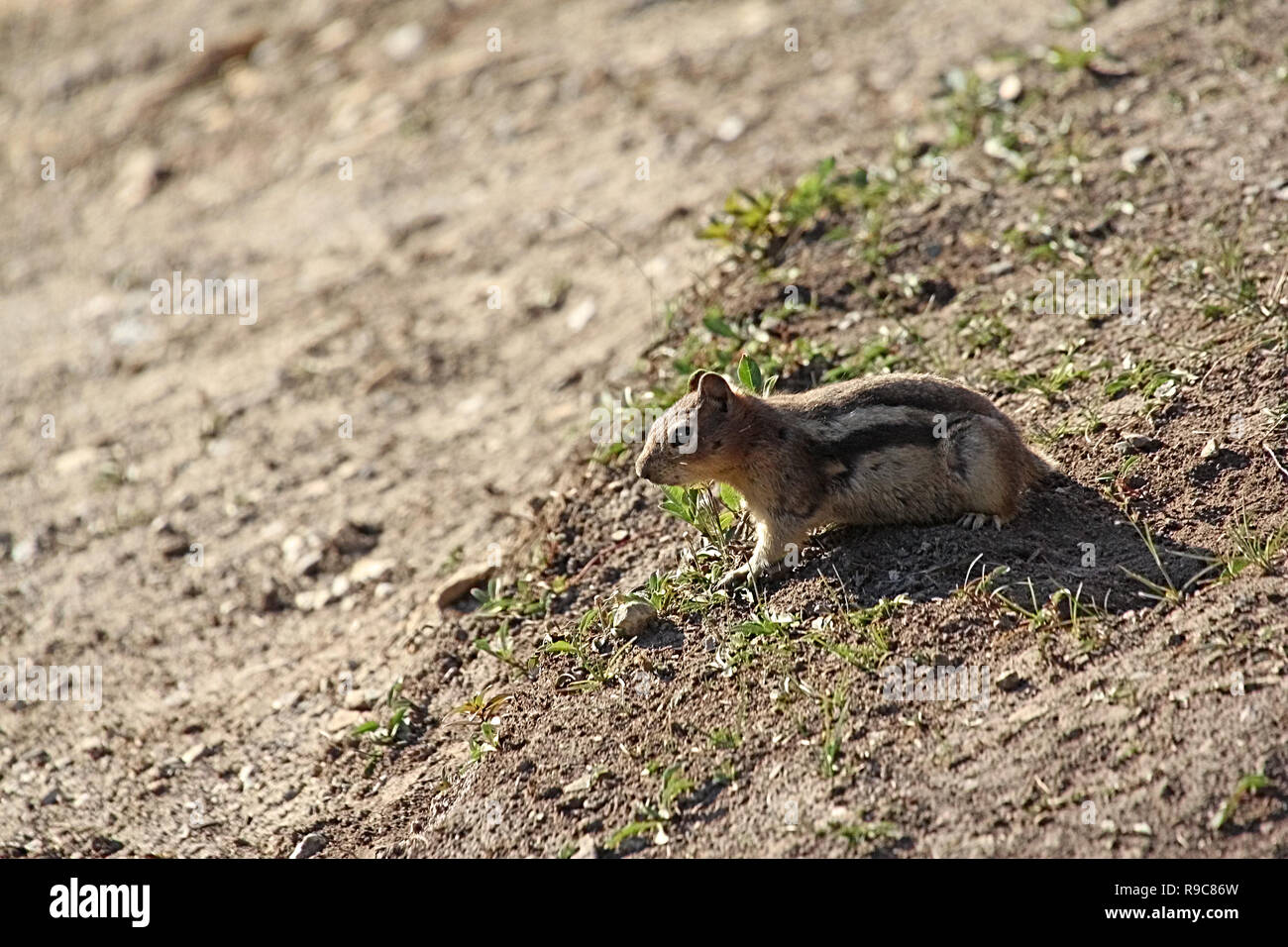 The red-tailed chipmunk (Neotamias ruficaudus) is a species of rodent in the family Sciuridae. - Stock Image