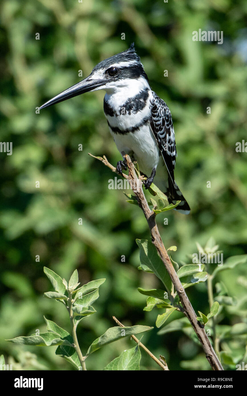 Male Pied kingfisher (Ceryle rudis) in Botswana, Africa - Stock Image
