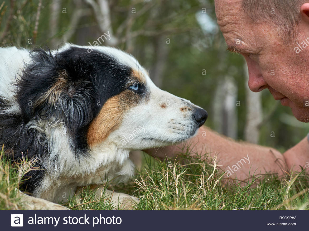 Middle-aged Caucasian male, laying face-to-face in the grass with his pet dog - a Tri-colored Border Collie with blue eyes - and man's best friend. - Stock Image