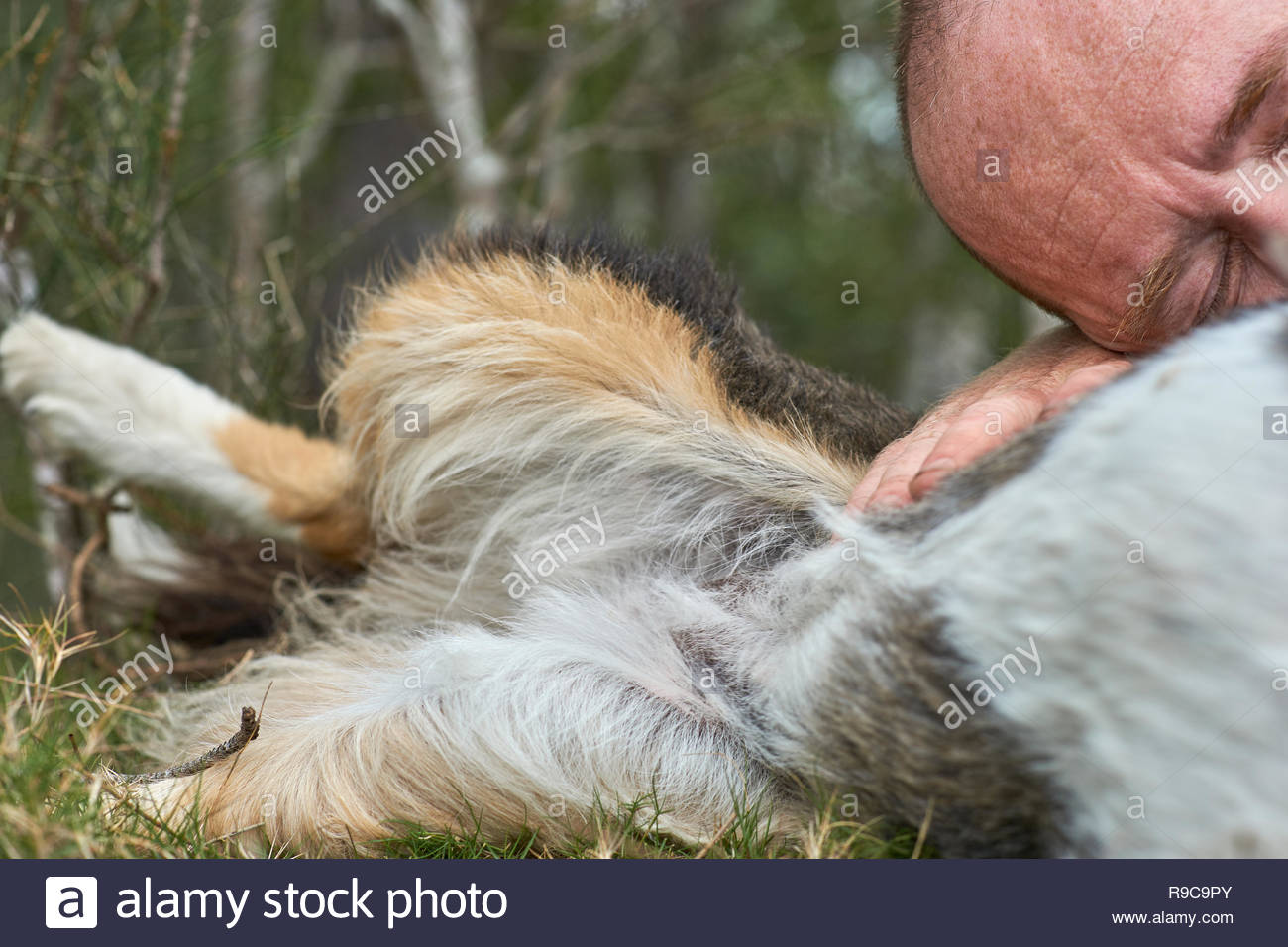 A middle-aged Caucasian male with eyes closed, resting his head on his pet dog's chest - long-haired tri-colored Border Collie - a man's best friend. - Stock Image