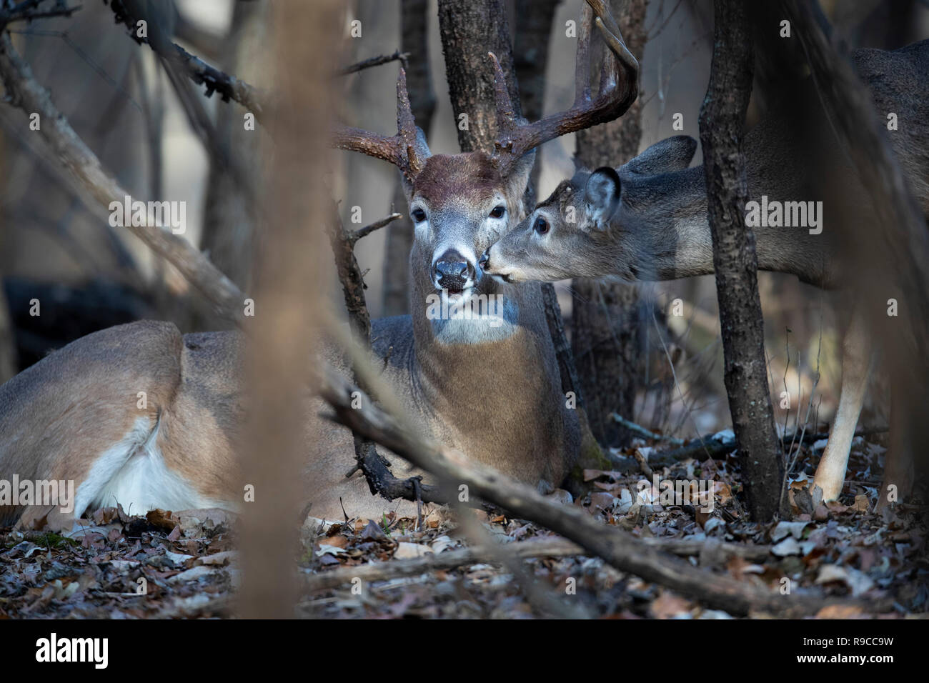 A very young deer grooming a mature buck whitetail deer. - Stock Image