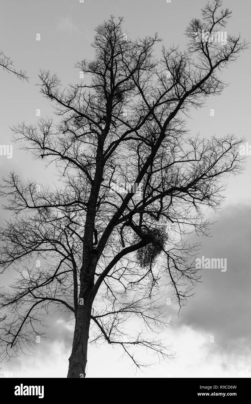 Looking up at a bare leafless tree in Winter against evening sky, in monochrome black and white. B&W nature. - Stock Image