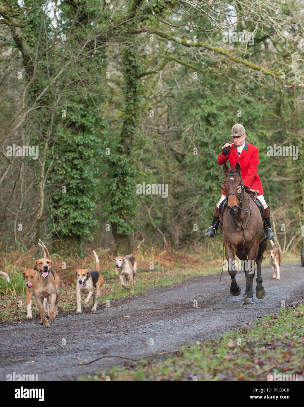 huntsman with pack of hounds - Stock Image