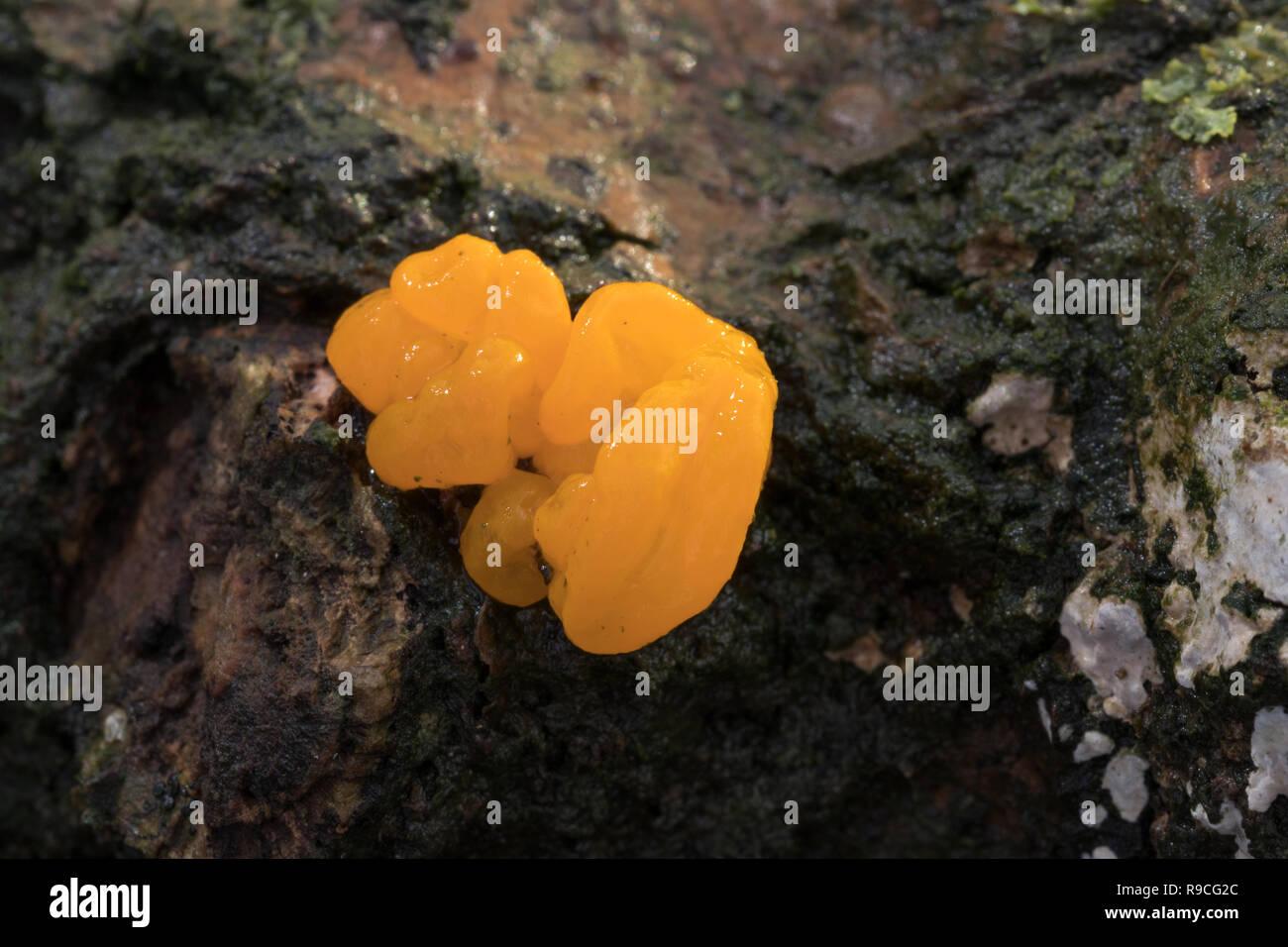 Yellow Brain Fungus - Stock Image