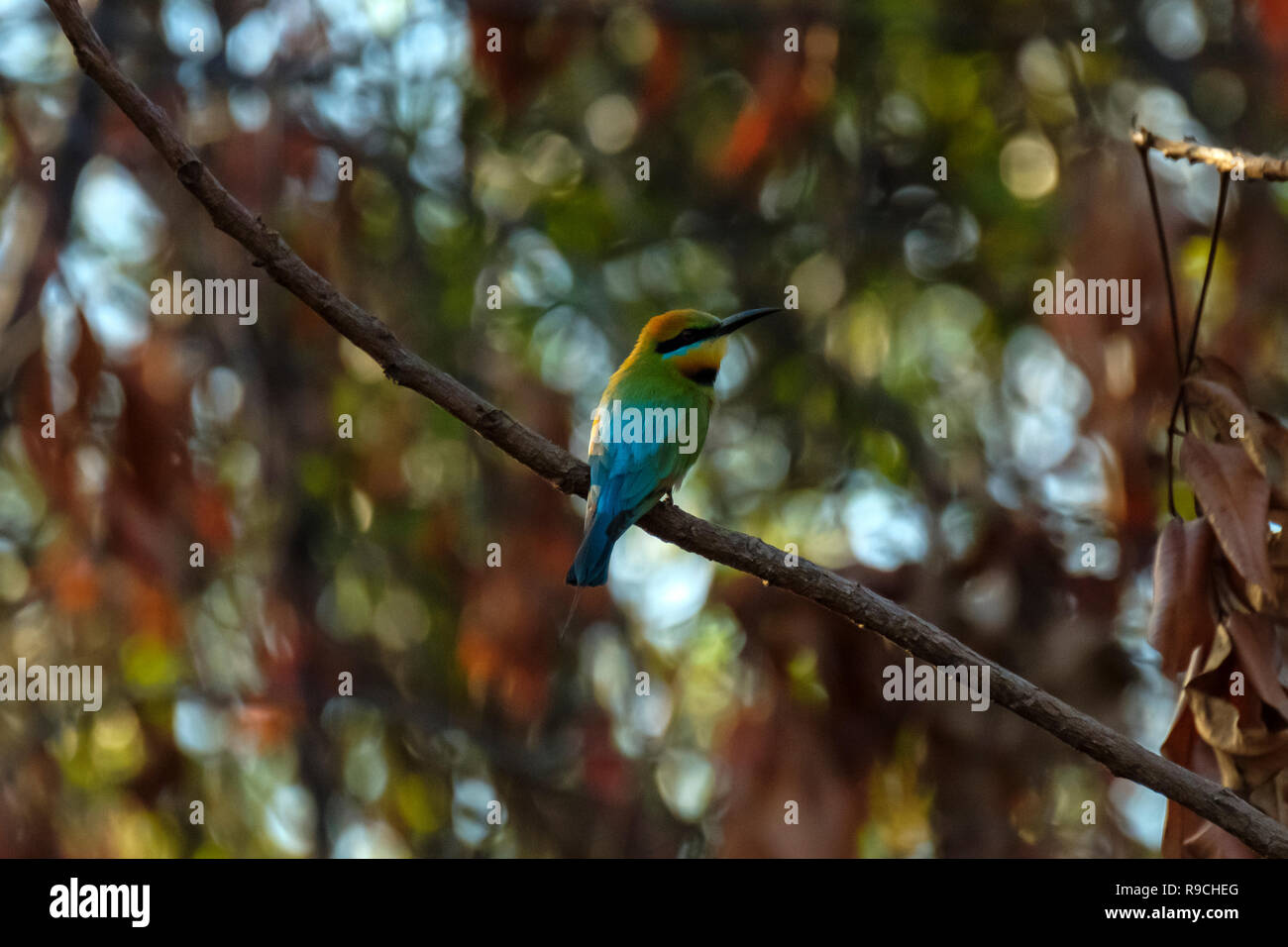 Rainbow Bee-Eater - At the Town Common Conservation Park, Townsville - Stock Image