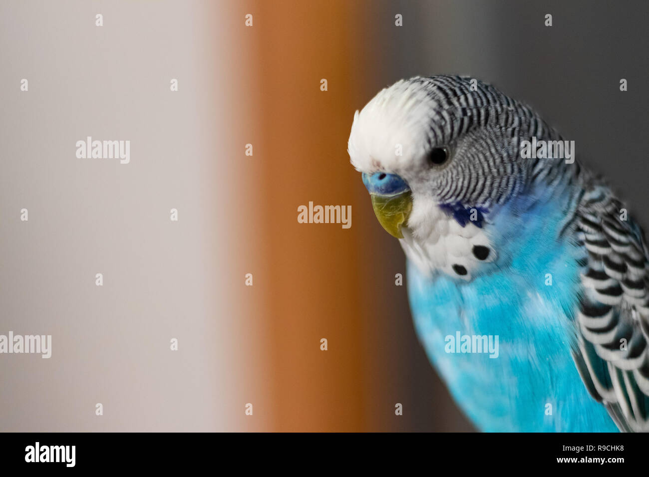 Small Beautiful Blue Parrot In Focus Stock Photo Alamy