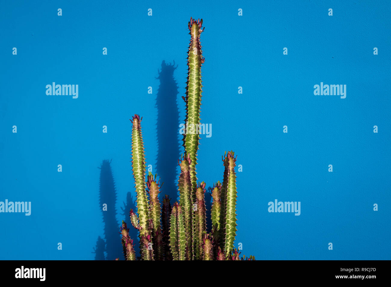Cactus (Euphorbia Trigona) against a solid blue background. Stock Photo