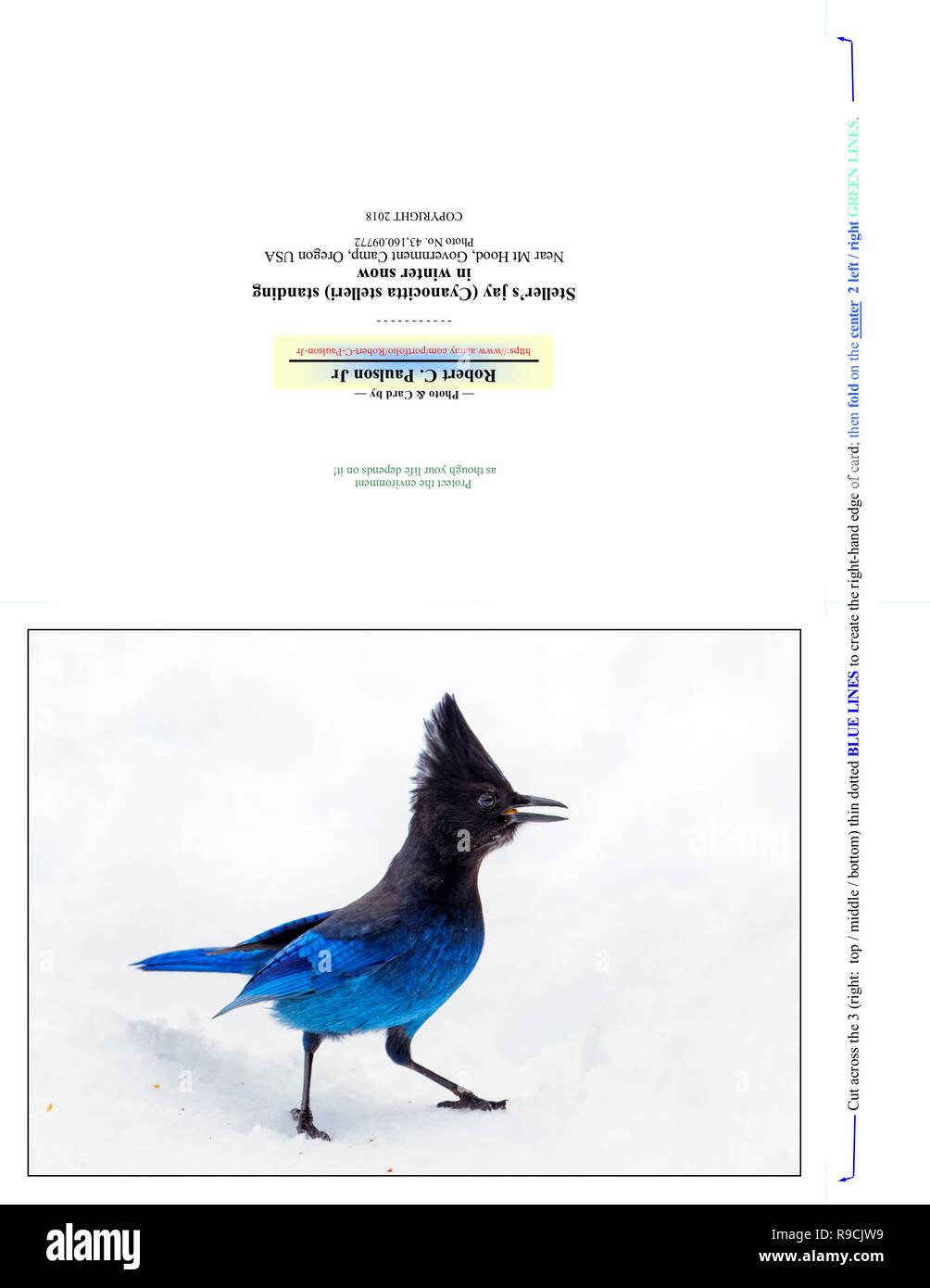 43,160.09772 Photography Note Card (print cut fold for 7x5 photo card), blue & sassy Steller's jay bird (Cyanocitta stelleri) standing in winter snow - Stock Image