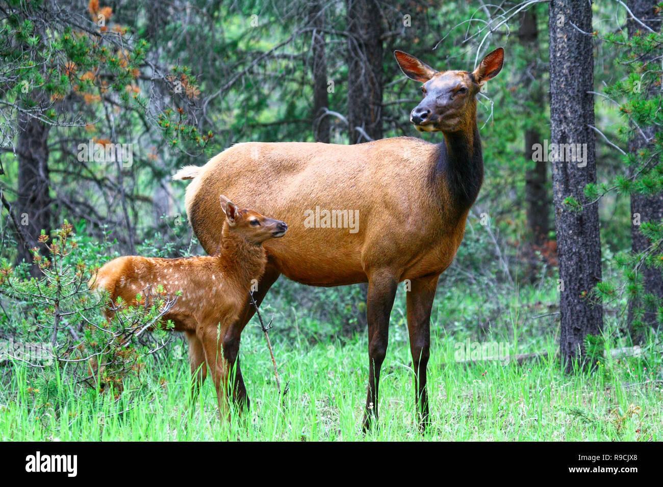 40,717.00111 beautiful Elk cow & calf baby (Cervus elaphus, Cervidae) with spots standing in young trees conifer forest meadow - Stock Image