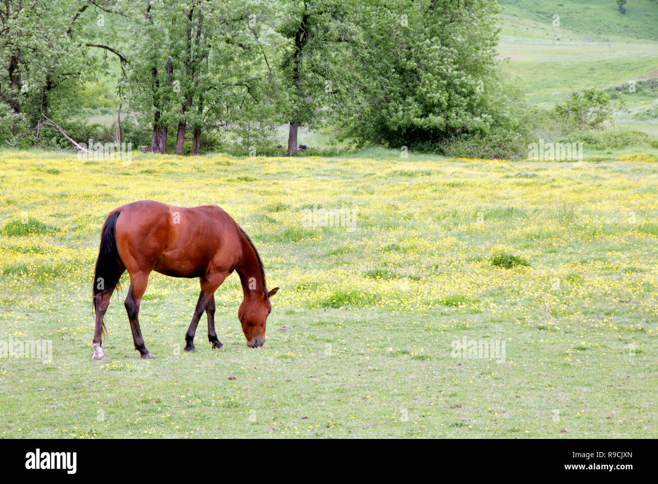 41,052.00460 Bay brown horse eating in spring yellow flowers green pasture with deciduous trees in background, slight hill & valley Oregon US - Stock Image