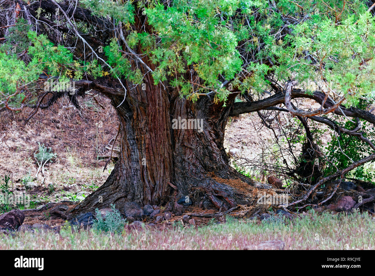 42,893.03473 close up trunk & lower branches 4' diameter old growth western juniper tree (Juniper occidentalis) in high desert central Oregon, USA - Stock Image