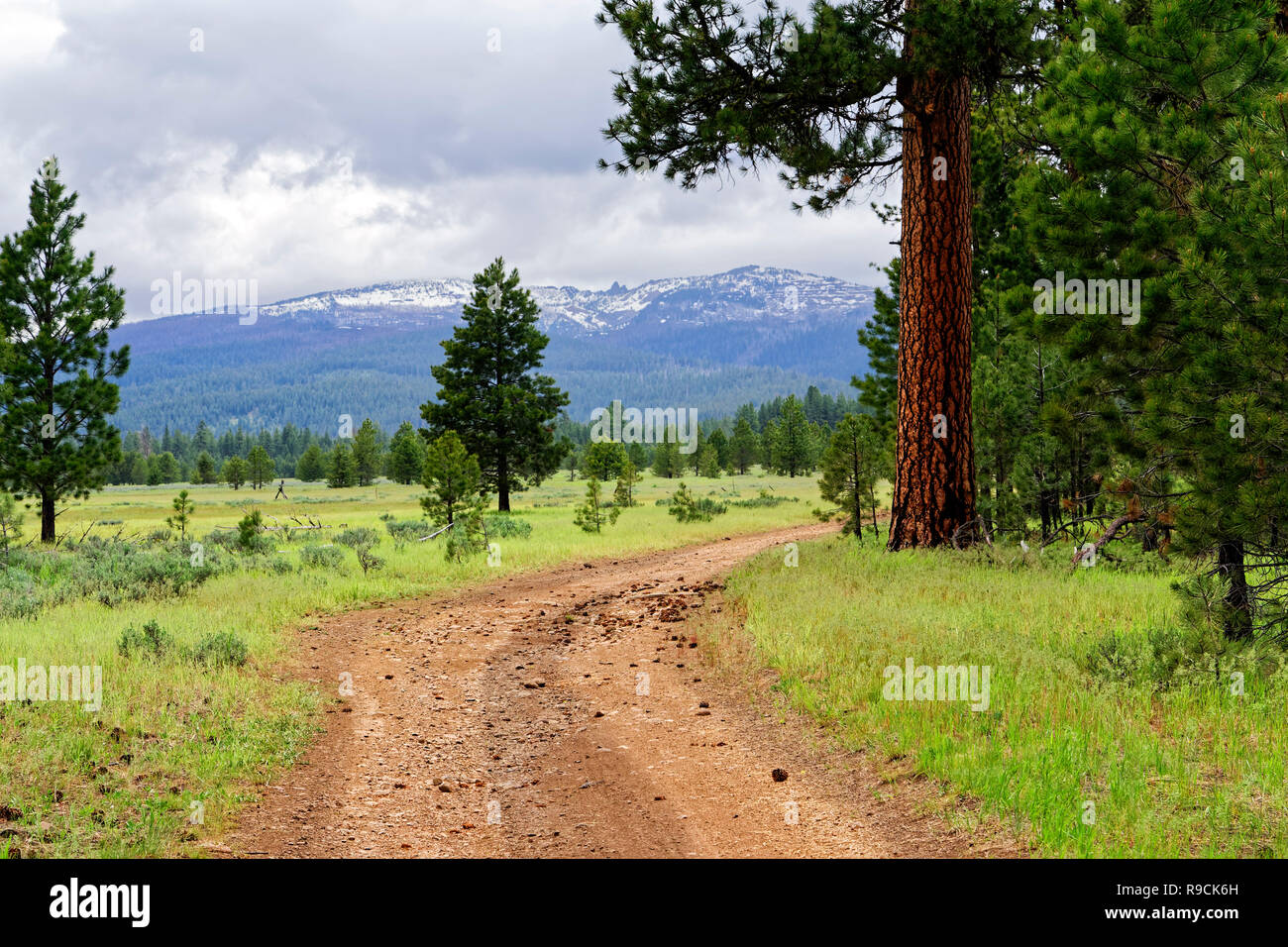 42,894.03540 red dirt backcountry public road on edge of ponderosa pine forest & lush green Logan's Prairie, Prairie City, Oregon, USA - Stock Image