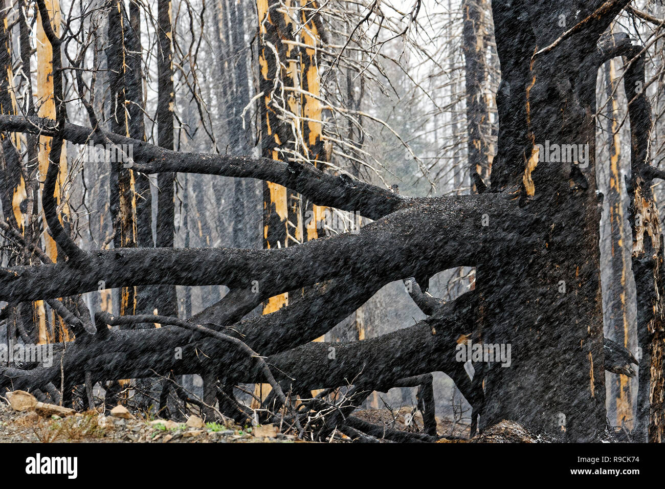 42,895.03613 close up black remains of conifer pine trees forest fire, standing dead blackened by massive hot searing forest fire, Oregon USA - Stock Image