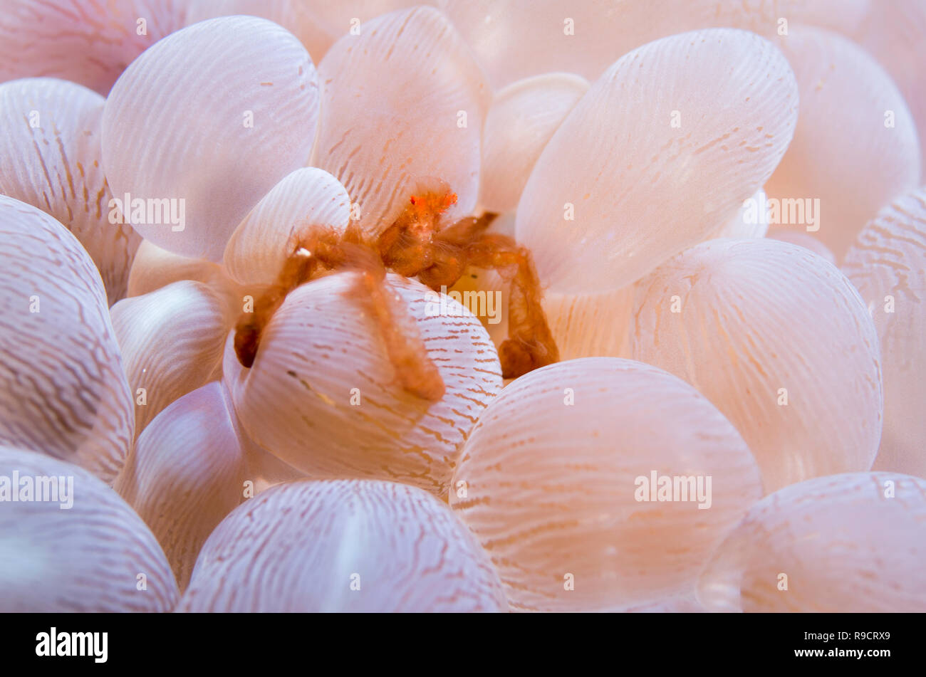 Achaeus japonicus, aka  the orangutan crab on  Bubble coral   Plerogyra sinuosa Cape Zanpa, Okinawa, Japan. - Stock Image