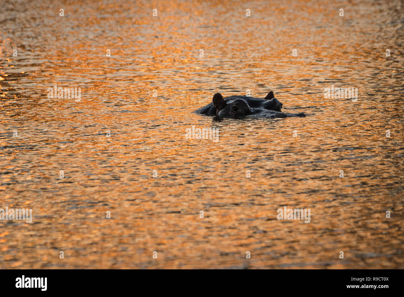 Lone hippo in water - Stock Image