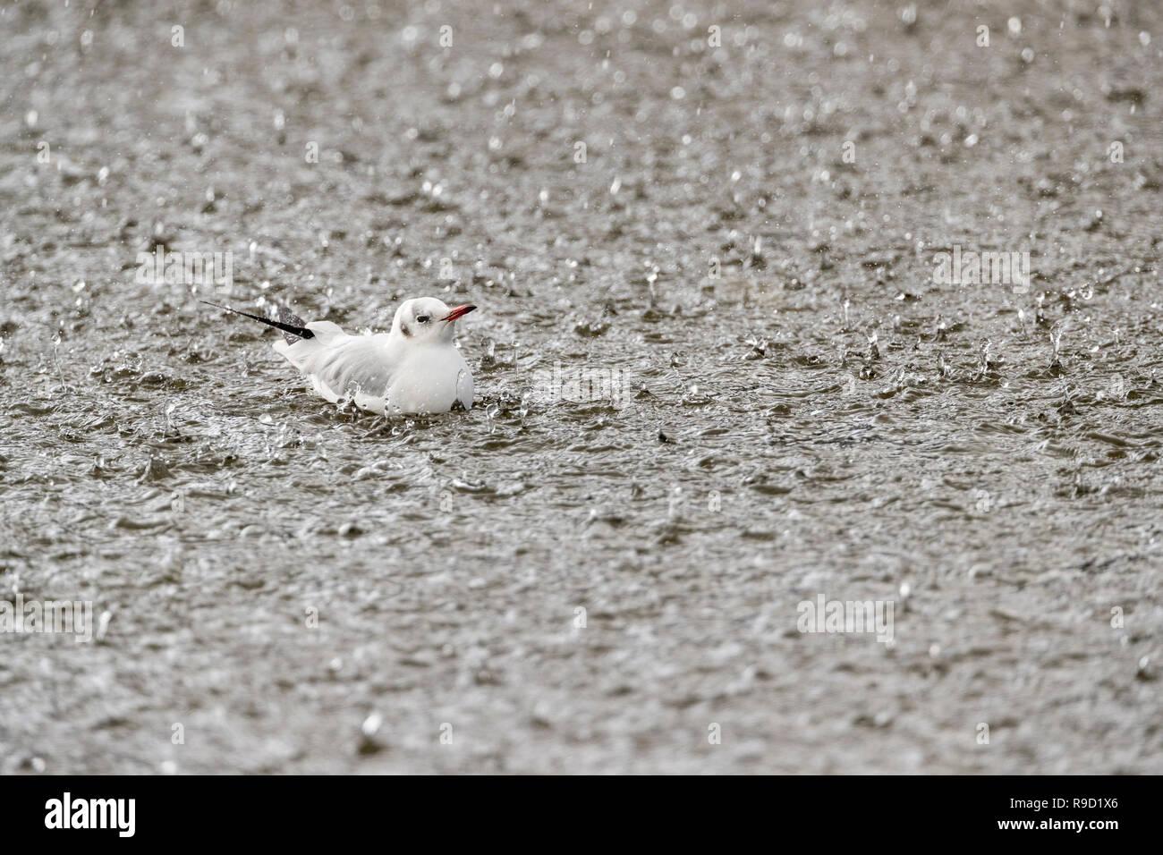 Black Headed Gull; Chroicocephalus ridibundus; in Hail Storm; Cornwall; UK - Stock Image