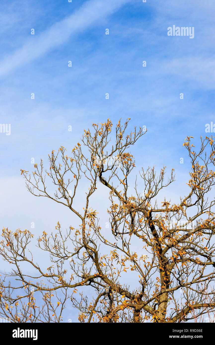 Autumn scene. Dead leaves clinging to tree branches against blue and wispy white cloud sky. - Stock Image