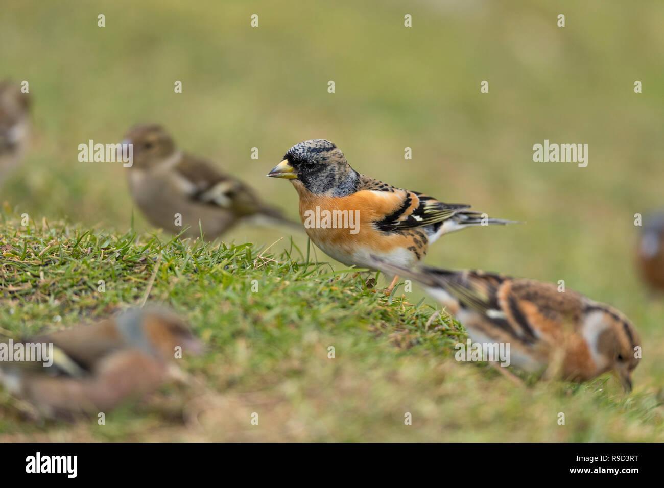 Brambling; Fringilla montifringilla Single Male Amongst Finches Cornwall; UK - Stock Image