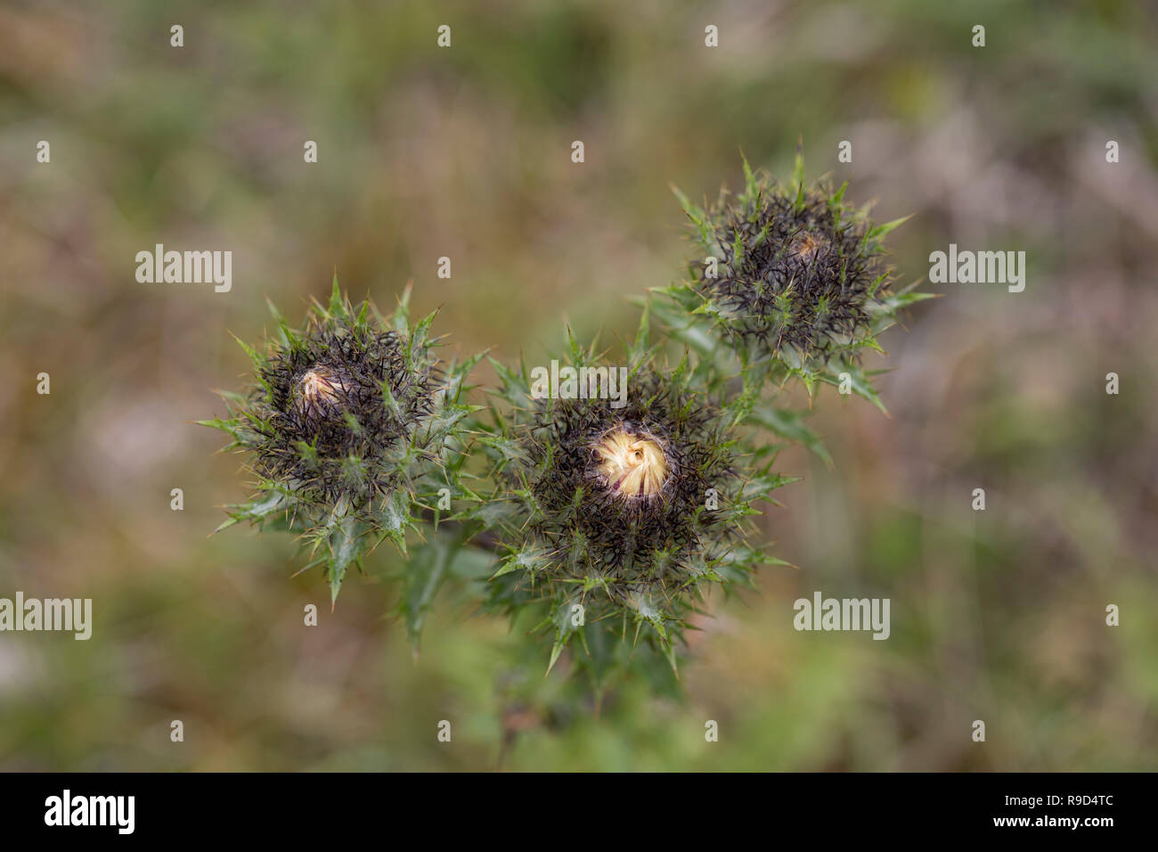 Carline Thistle; Carlina vulgaris Buds Cornwall; UK - Stock Image
