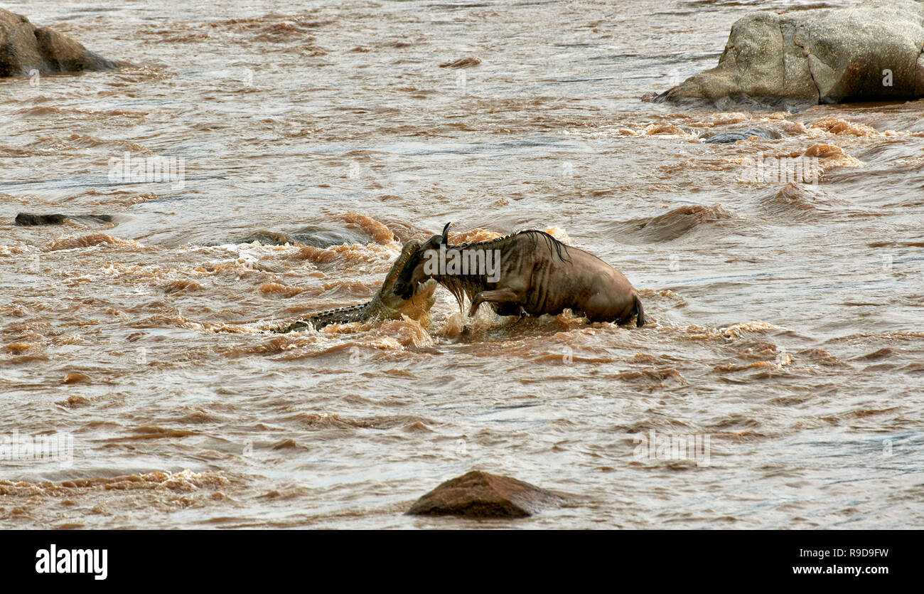 Nile crocodile (Crocodylus niloticus) snapping white-bearded wildebeest (Connochaetes taurinus mearnsi) during crossing Mara River on annual migration - Stock Image