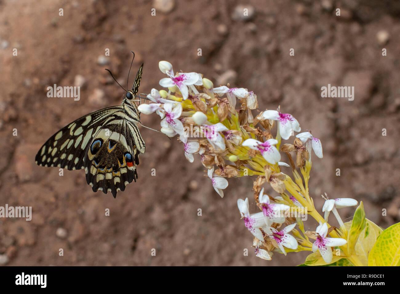 Citrus butterfly, Papilio demodocus, Papilionidae, Burkina Faso, Africa - Stock Image