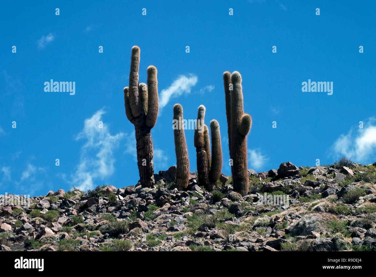 Four picturesque cactus in the Atacama desert that look like hands whose finger point to the blue sky. Chile, South America. - Stock Image