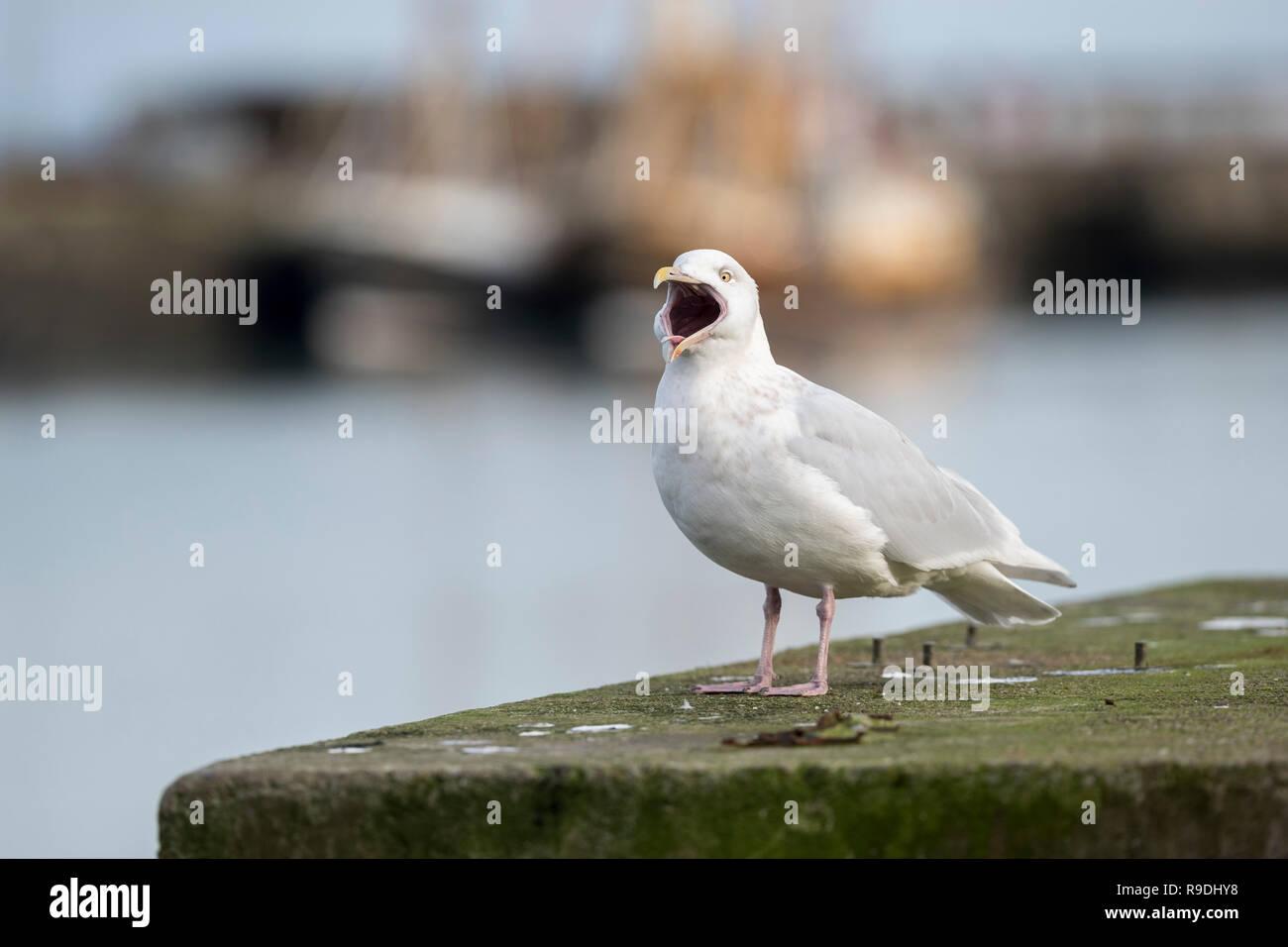 Glaucous Gull; Larus hyperboreus Single Yawning Cornwall; UK - Stock Image