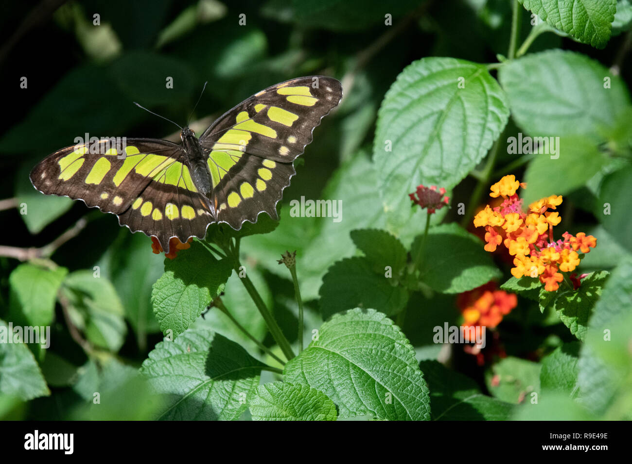 Malachite Butterfly - Siproeta stelenes butterfly - a Malachite Butterfly rests on African butterfly weed flowers in a butterfly exhibit in Aruba - Stock Image