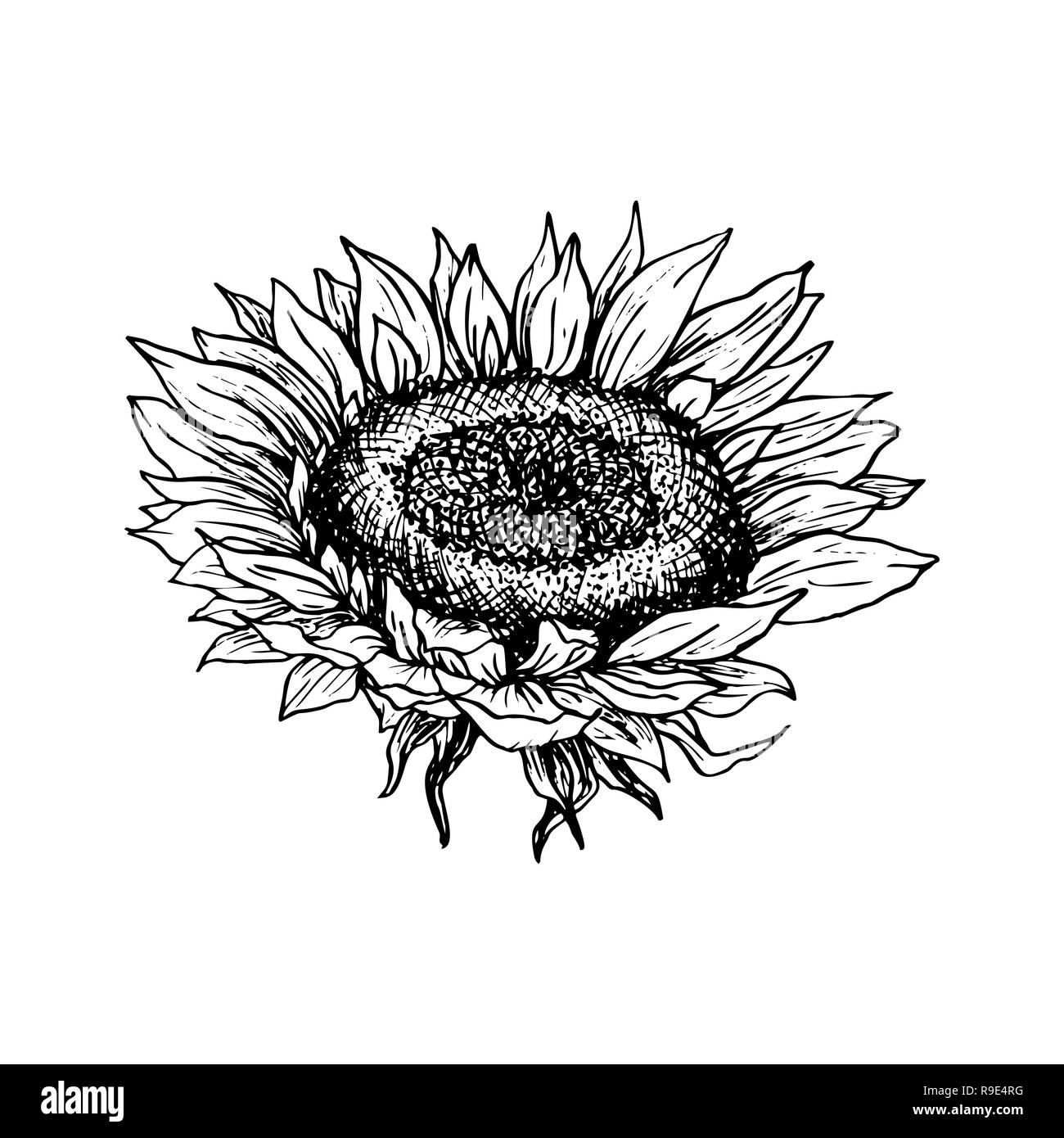 Freehand Line Drawing Sunflower Stock Vector Images - Alamy