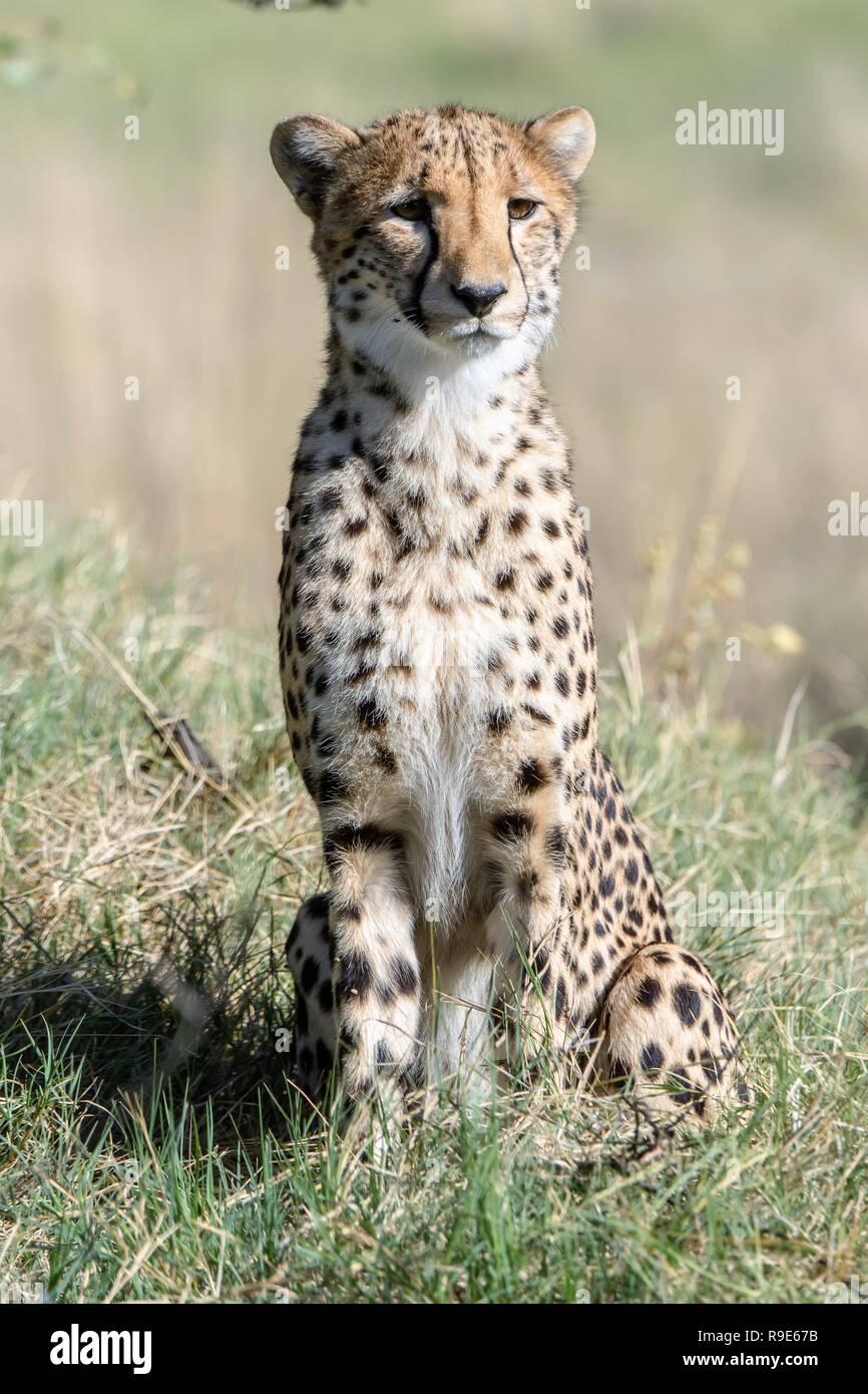 Southeast African cheetah (Acinonyx jubatus) in Botswana, Africa is considered Vulnerable. - Stock Image