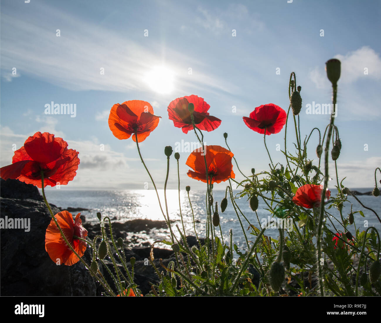 Close of red poppies against blue sky and sea in the sunshine - Stock Image