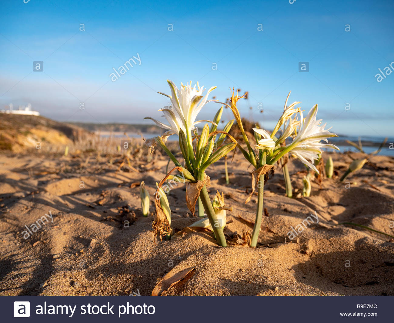 Flower on a cliff growing in sand at the atlantic ocean in Portugal, Europe. Stunning mediterranien vegetation and plants in summer. Stock Photo
