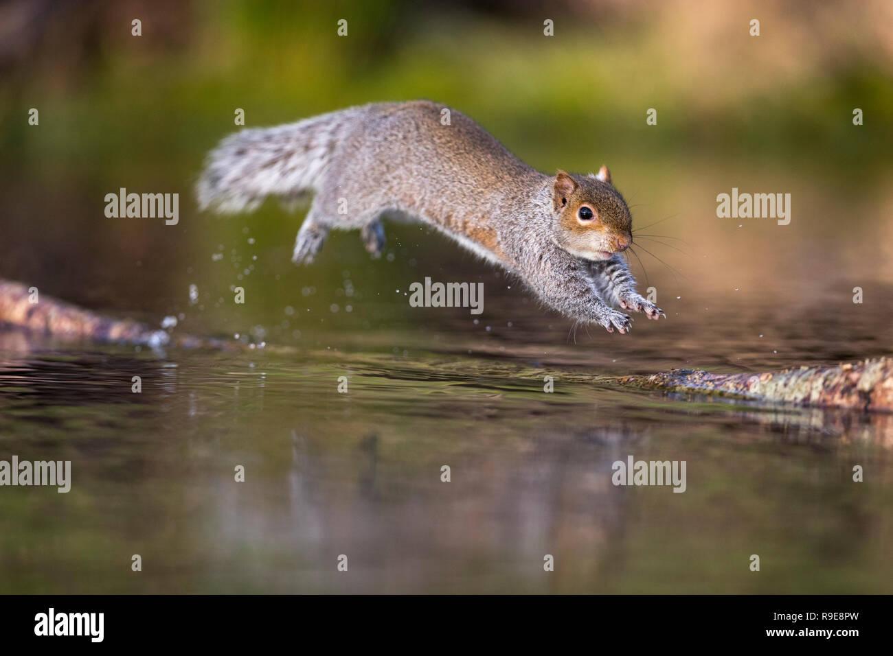 Grey Squirrel; Sciurus carolinensis Single Jumping Cornwall; UK - Stock Image