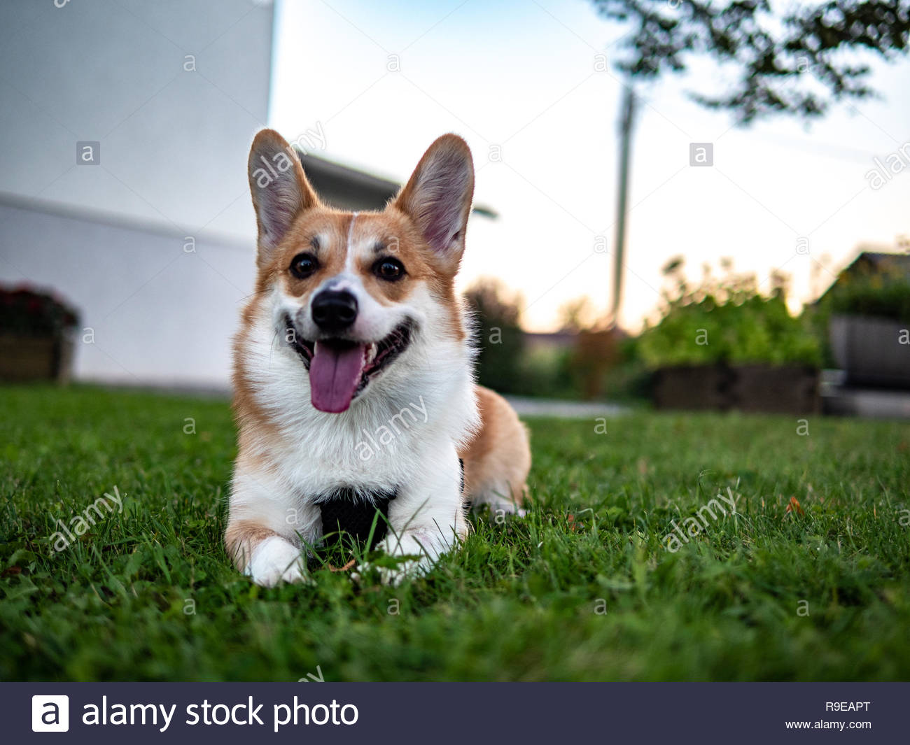 Portrait of young smiling dog welsh corgi pembroke posing outside in a park - Stock Image
