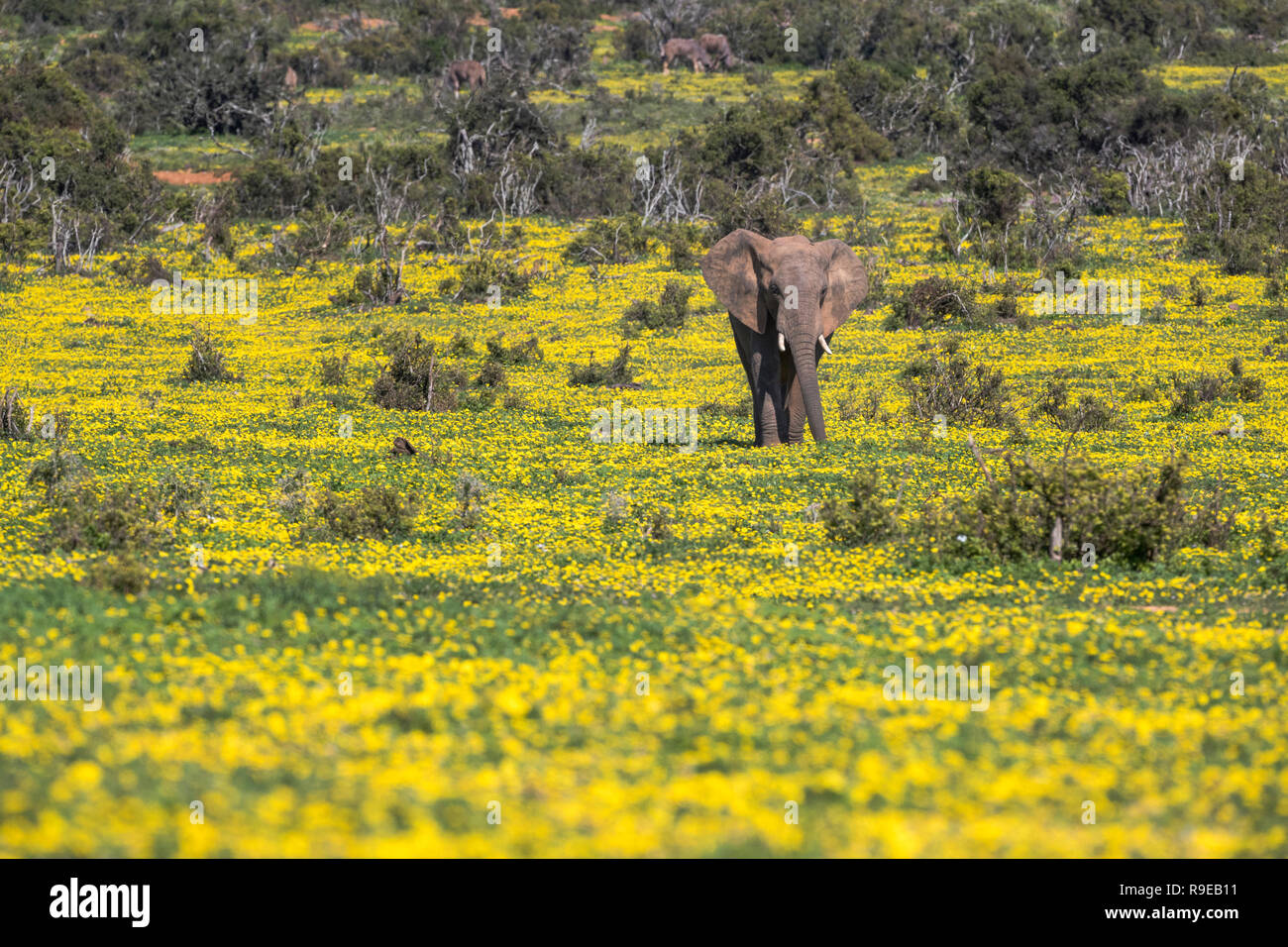 African elephant (Loxodonta africana) in springflowers, Addo elephant national park, Eastern Cape, South Africa, - Stock Image