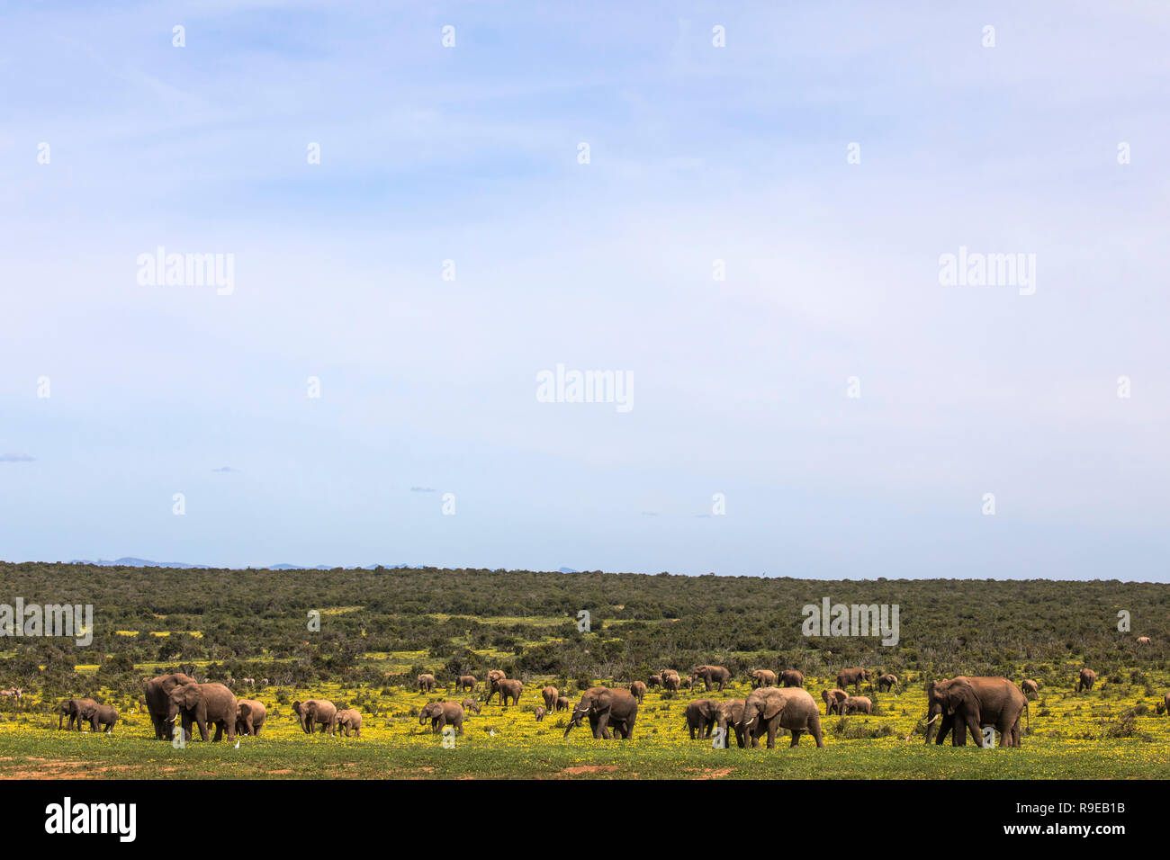 African elephants (Loxodonta africana) in springflowers, Addo elephant national park, Eastern Cape, South Africa, - Stock Image