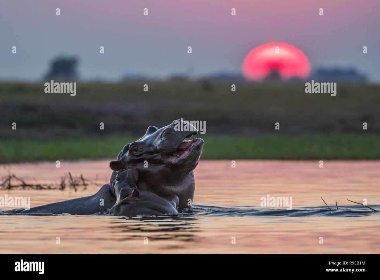 Hippos (Hippopotamus amphibius), Chobe river, Botswana, - Stock Image
