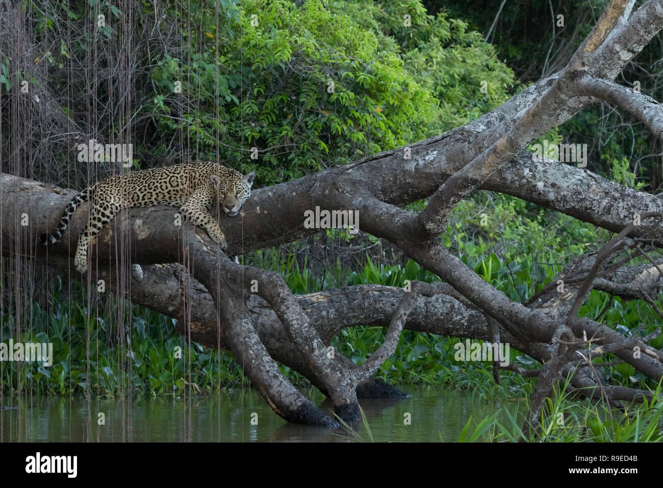 Jaguar in Porto Jofre, Brazil - Stock Image