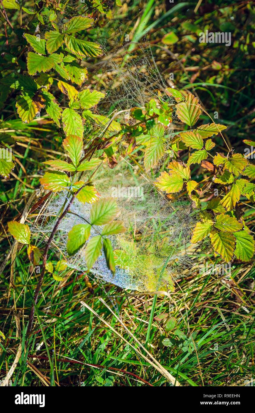 Natural beautiful background. Spider web illuminated by the sun on green grass in the morning. - Stock Image