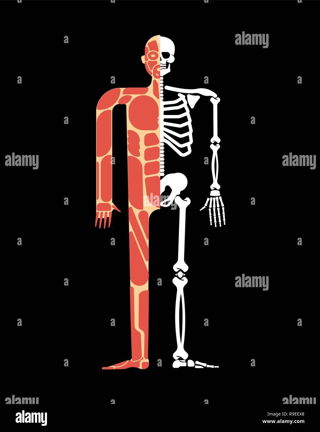 Skeletal Muscle Fiber Stock Photos Skeletal Muscle Fiber Stock