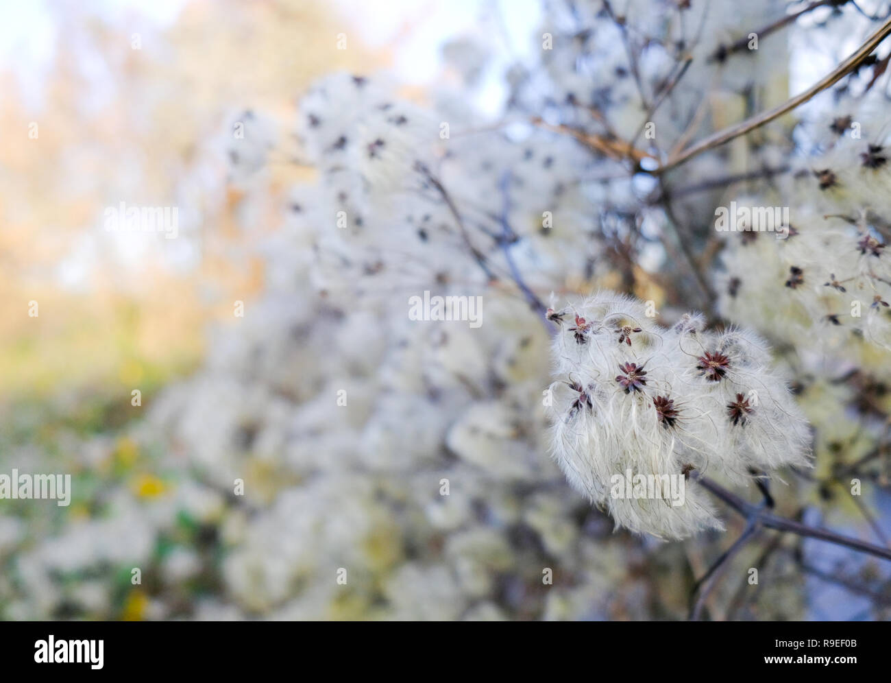Old Mans Beard (Clematis vitalba) or wild Clematis growing in the Kent countryside - Stock Image