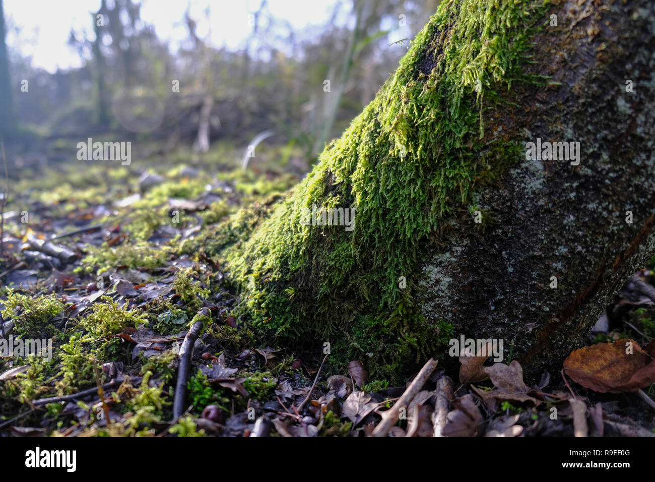 low winter sun over a moss covered tree trunk in and English woodland - Stock Image