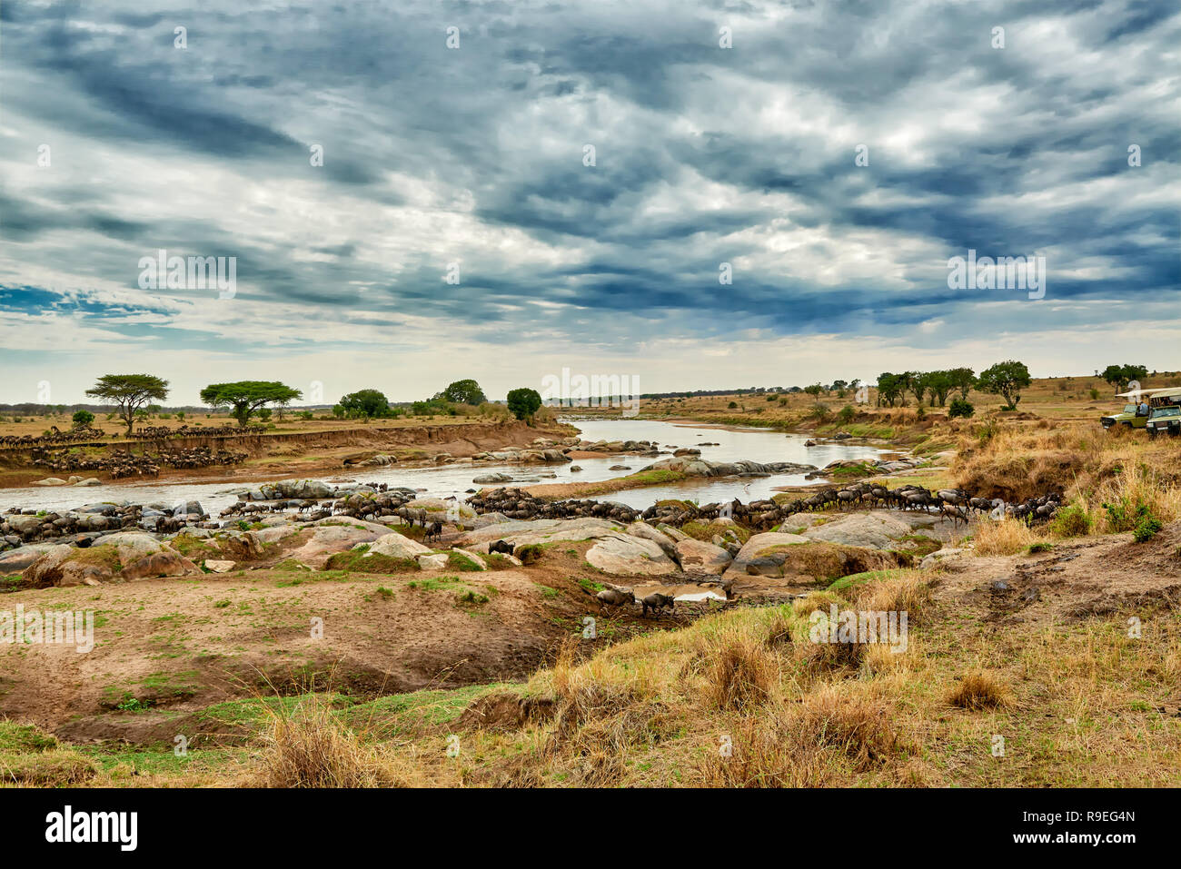 herd of white-bearded wildebeest (Connochaetes taurinus mearnsi) crossing Mara River on annual migration, Serengeti National Park, UNESCO world herita - Stock Image