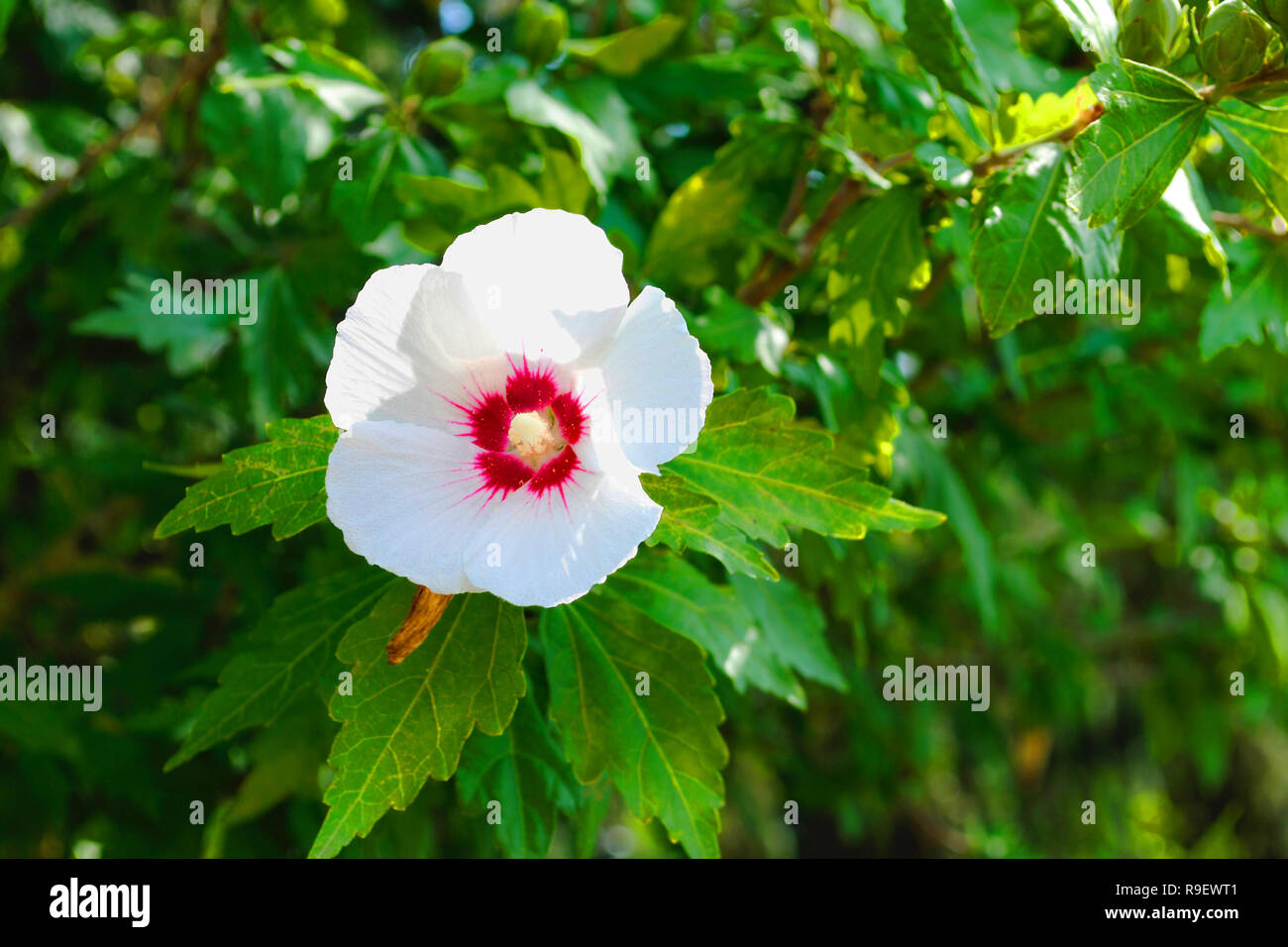 Hibiscus Syriacus Red Heart Flower Stock Photo 229594289 Alamy