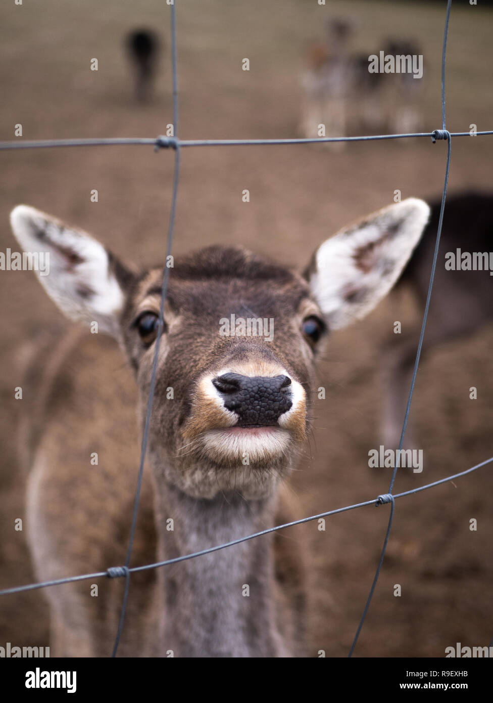 a deer is eating a bush - Stock Image