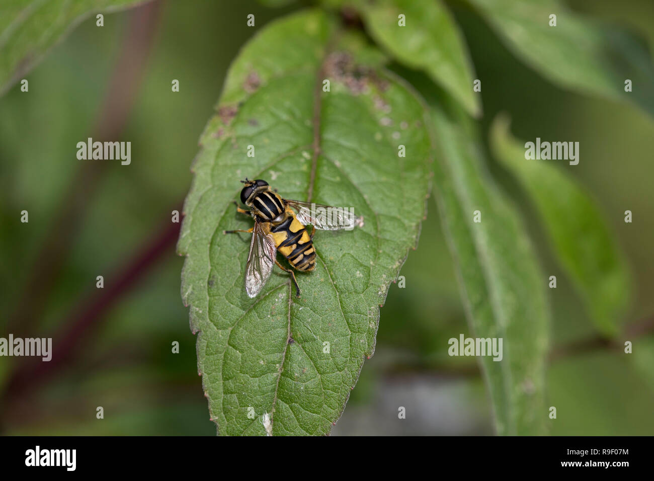 Hoverfly The Footballer; Helophilus pendulus Single on Mint Leaf Cornwall; UK - Stock Image