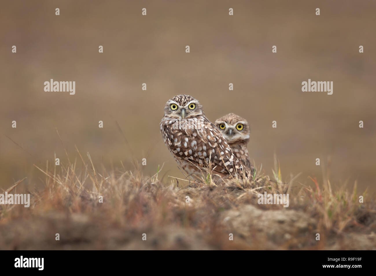 Búho machuelo excavador burrowing owl couple - Stock Image