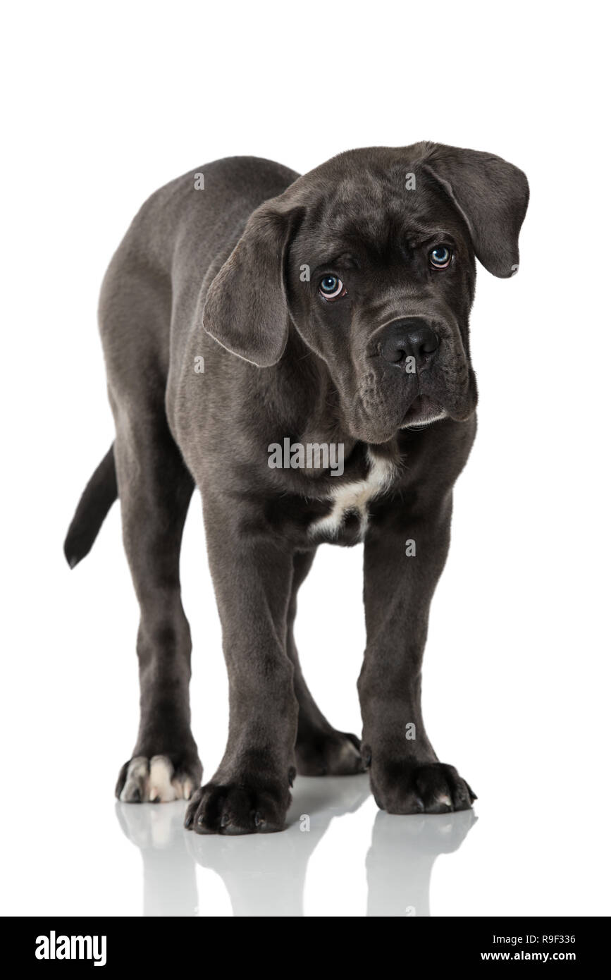 Cane Corso Puppy On White Background Stock Photo Alamy
