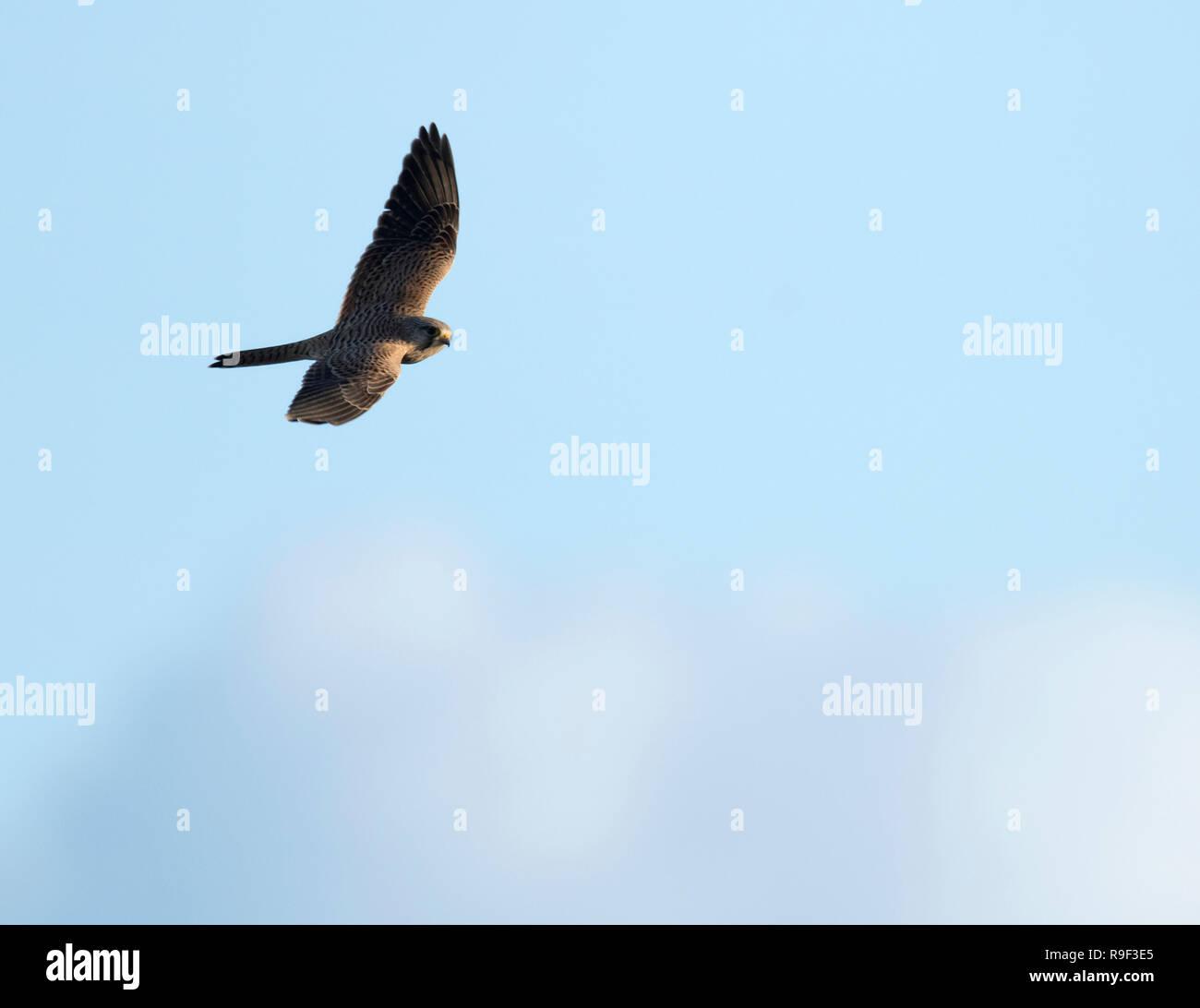 A wild female Kestrel (Falco tinnunculus) in flight against a blue sky, Gloucestershire - Stock Image